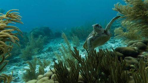 turtle waving over coral