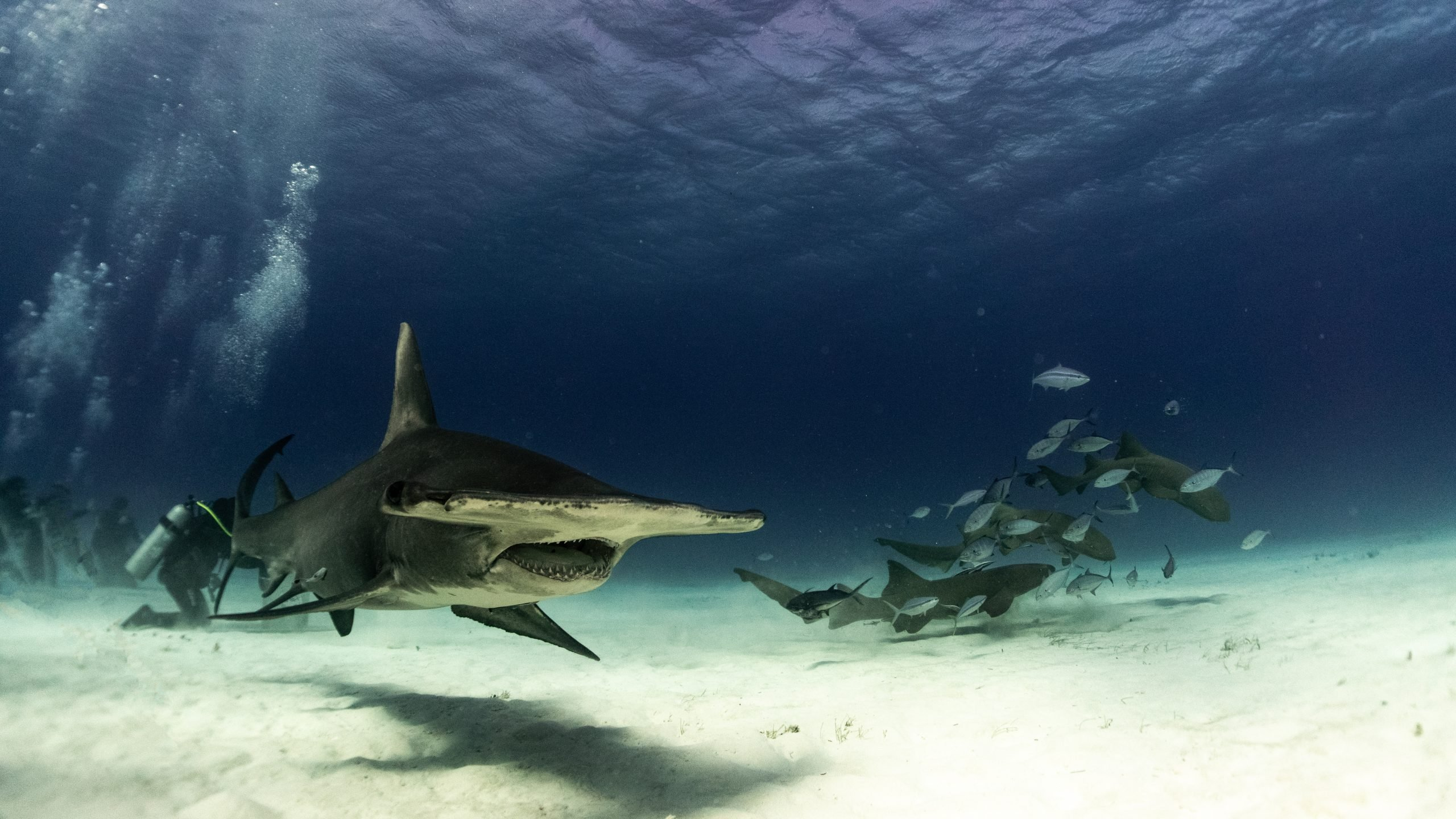 hammerhead with nurse sharks in the background