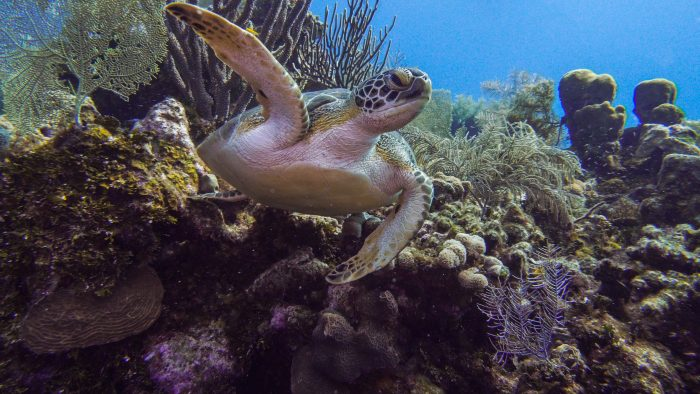 turtle swims over the reef