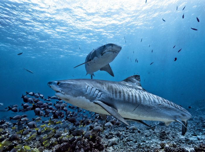 Two Tiger Sharks Swim